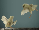 Little Chicks Take Their First Flight